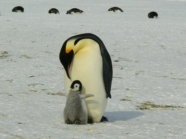 penguins-429134_1920